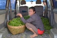 Achat de feuilles fraiches à peine récoltées à Phongsaly