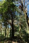 Théiers sauvages au coeurs de la forêt
