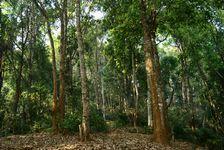 Jardin à thé dans la forêt