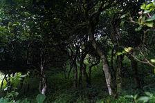 Jardin à thé ancien