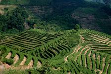 Plantations de thé en terrasse