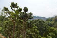 Théier à grande feuilles au Laos