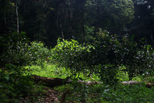 Tea Garden in an agricultural forest