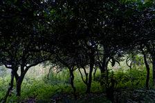 Théiers dans un environnement naturel