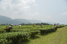 Tea Garden in terrace cultivation