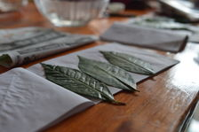 Leaves of Camellia Sinensis Assamica in Yunnan