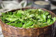 Feuilles de thé puerh <span class='translation'>(Pu Er tea)</span> fraîchement récoltées