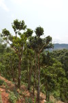 Old tea trees in Laos