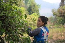 Young woman plucking leaves in Thailand