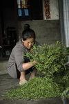 Roulage des feuilles à Mengku
