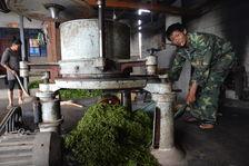 Travail des feuilles de thé dans le Yunnan