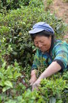Women plucking leaves at Fengqing