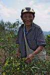 Homme cueillant des feuilles au Laos