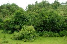 Great tea trees in Yong In, Lincang