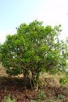 Vieil arbre à thé à Bing Dao, Lincang