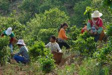 Young women collecting an ecological garden (Bing Dao)