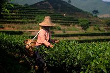 Récolte de Tai Di (Jinuo Shan)