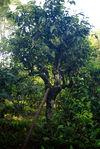 Tige de bambou posé sur un arbre ancien pour en atteindre le sommet