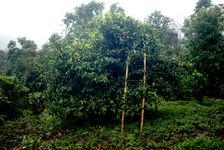 Echelle posée sur un arbre ancien pour y grimper plus aisément (Banzhang)