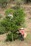 leaf pickers in environments with large trees to Bing Dao Mengku