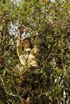 Cueilleuses de feuilles au milieux de grands arbres à Bing Dao, Mengku