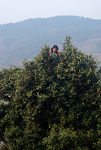 Jeune femme cueuillant des feuilles au somet d'un grand arbre à thé ancien à Pu'Er