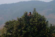 Girl on top of a tall tree in Pu'er