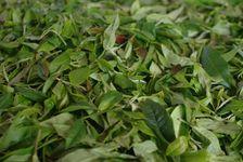 Leaves freshly harvested