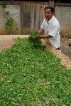 Feuilles fraîches étalées pour un premier séchage au soleil (Mengku)