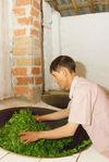 Sha Qing artisanal à main nue à Bing Dao, Mengku, Lincang