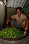 Sha Qing artisanal à Bulang Shan, Xishuangbanna