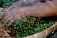 Kneading craft sheets puerh <span class='translation'>(Pu Er tea)</span> a farm of Wu Yi