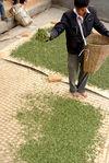 Mise des feuilles à sécher à Bing Dao, Mengku
