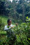 Petit producteur familial (Wang Bing) de Yi Wu en train de cueillir des feuilles de thé