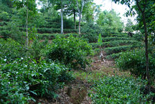 Jardin à thé moderne à Nanuo
