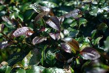Feuilles violettes sur un arbre à thé de YiWu