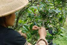 Cueillette des arbres à  thé à Yong De