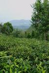 Fragment du jardin à thé de Lan Ting Chun