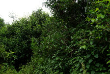 Grand arbres à thé dans le jardin de Lan Ting Chen