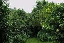 Grands théiers dans le jardin de Lan Ting Chun