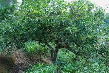 Trees old plantation (Nanuo Shan, Xishuangbanna)