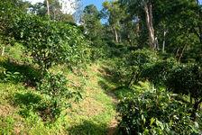 Trees old plantation (Jinuo Shan, Xishuangbanna)