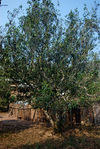 Grand old tea tree (Pu'er)