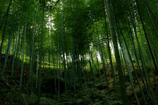 Bamboo Forest in Nantou