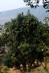 Arbre de vielle plantation dans la région de Pu Er
