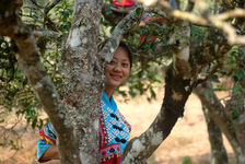 Employees of Luo Hou You in tea trees