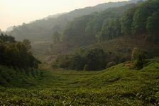 Jardin à thé près du village de Yi Wu