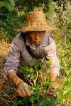 Monsieur Lee récoltant les feuilles de thé