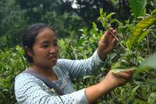 Xiao Lee en train de cueillir les feuilles de thé