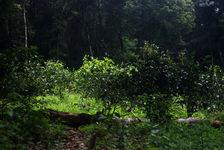 De jeunes théiers à l'ombre des grands arbres